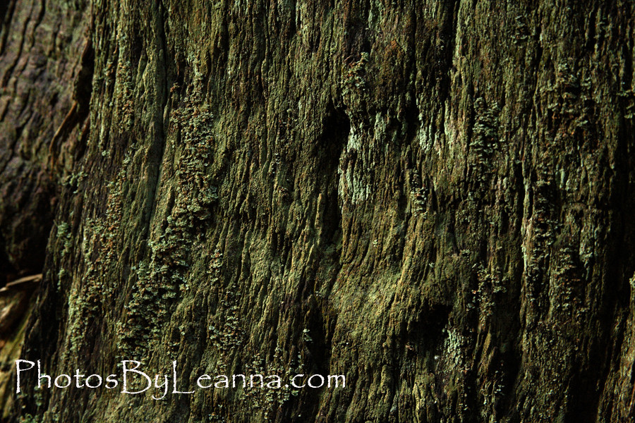 The bark of the Redwoods is like a sponge. When you press on it with your fingers it's soft and well... spongey!